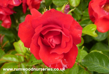 Roses A to Z list